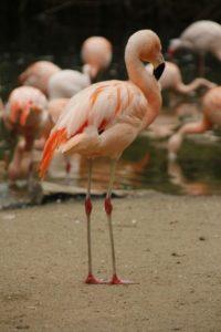 flamingo-401658_1280