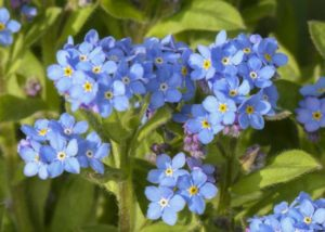 forget-me-not-333375_1280