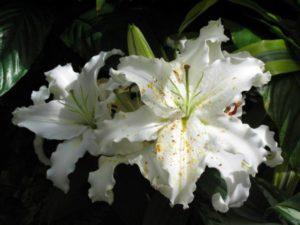 lilies-539750_1280