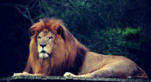 lion-490732_1280