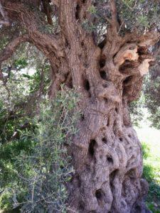 old-olive-tree-640676_1920