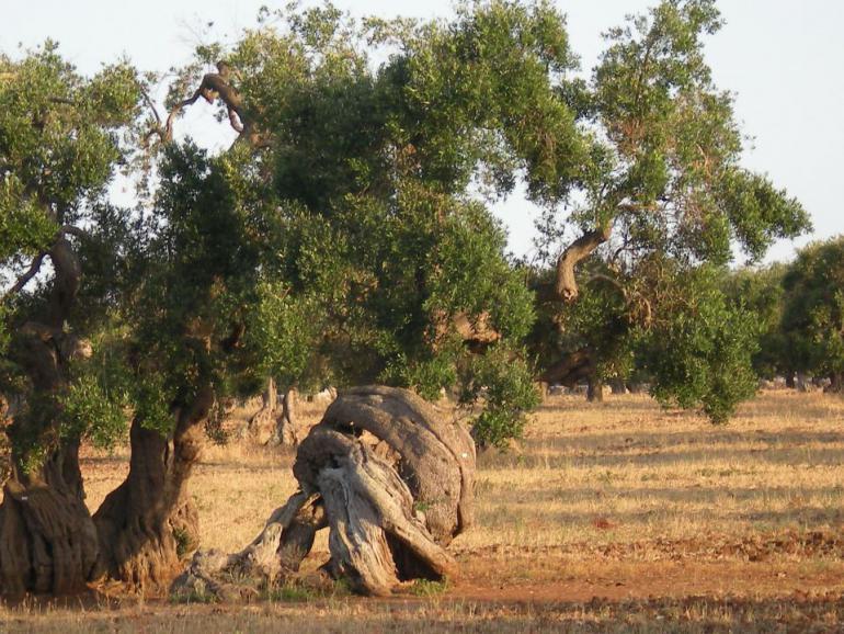 olive-tree-349337_1920