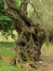 olive-tree-49067_1280