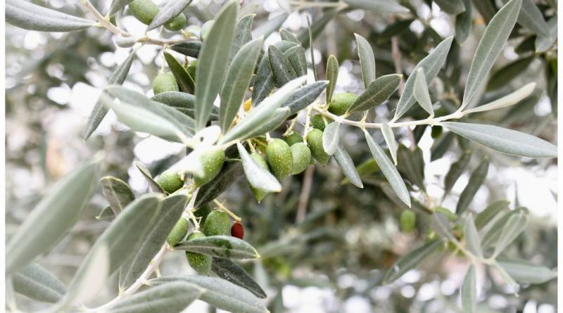 olives-401839_1280