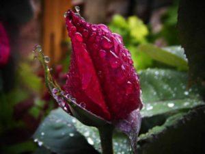 red-rose-548062_1280
