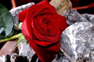 rose-641517_1280