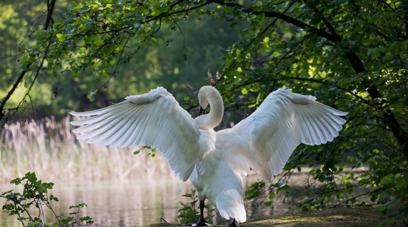 swan-341327_1920