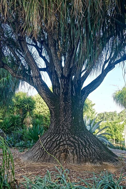 Posvátný fíkovník a kouzelný baobab