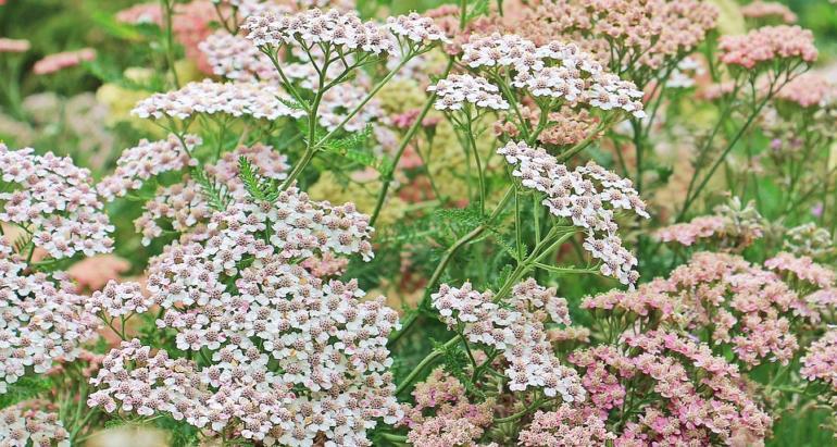 Řebříček obecný - bylinka pro ženy