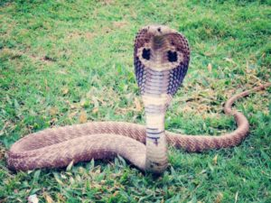 king-cobra-405623_1280