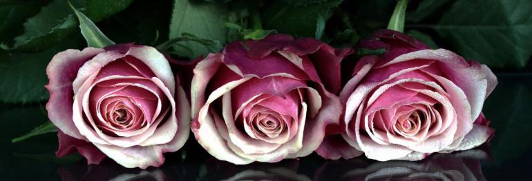 roses-1706448_1920