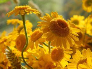 yellow-daisies-965432_1280
