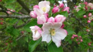apple-blossom-483599_1280