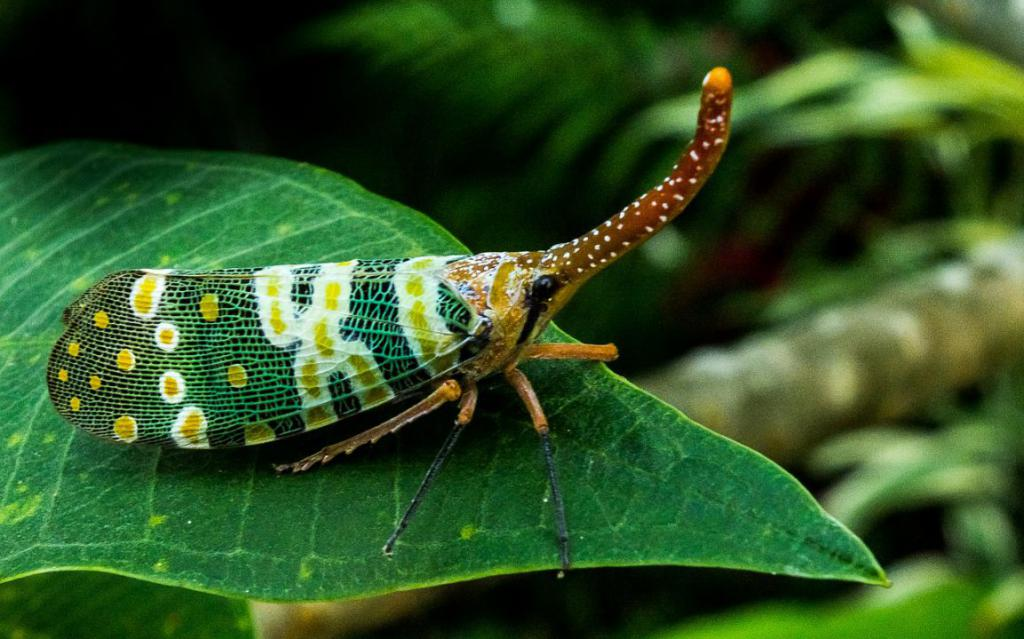 canthigaster-cicada-225813_1280