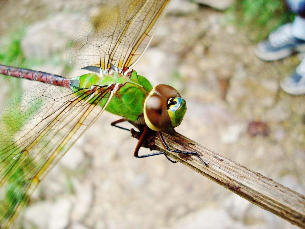 dragonfly-724406_1280