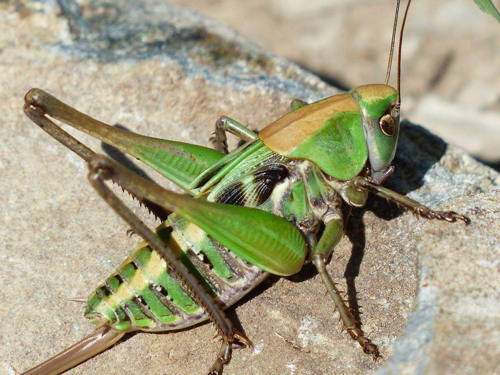 grasshopper-177350_1280