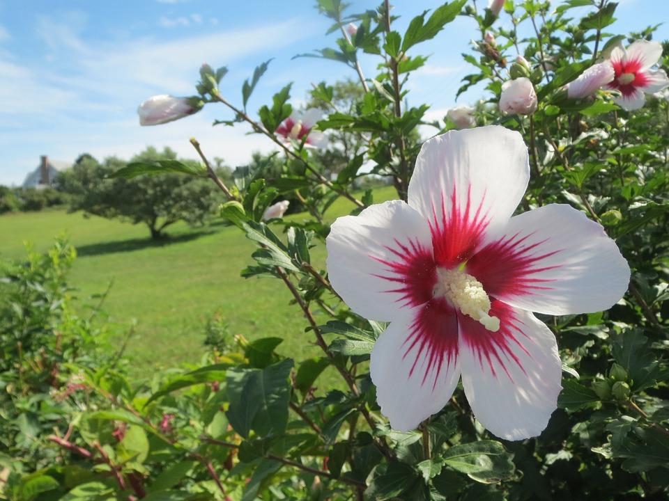 Ibišek - jedlé květy