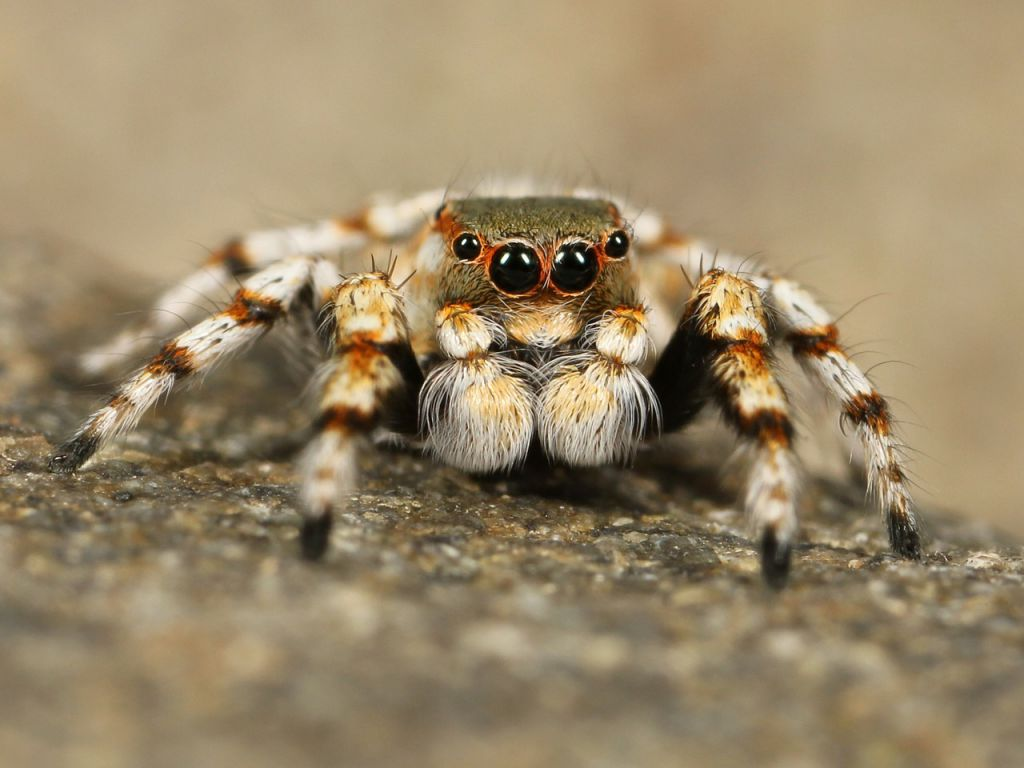 jumping-spider-111075_1280
