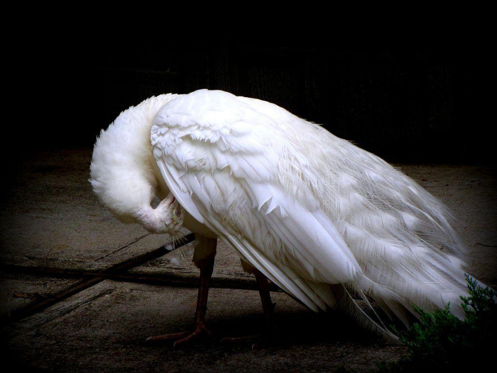peacock-52680_1280