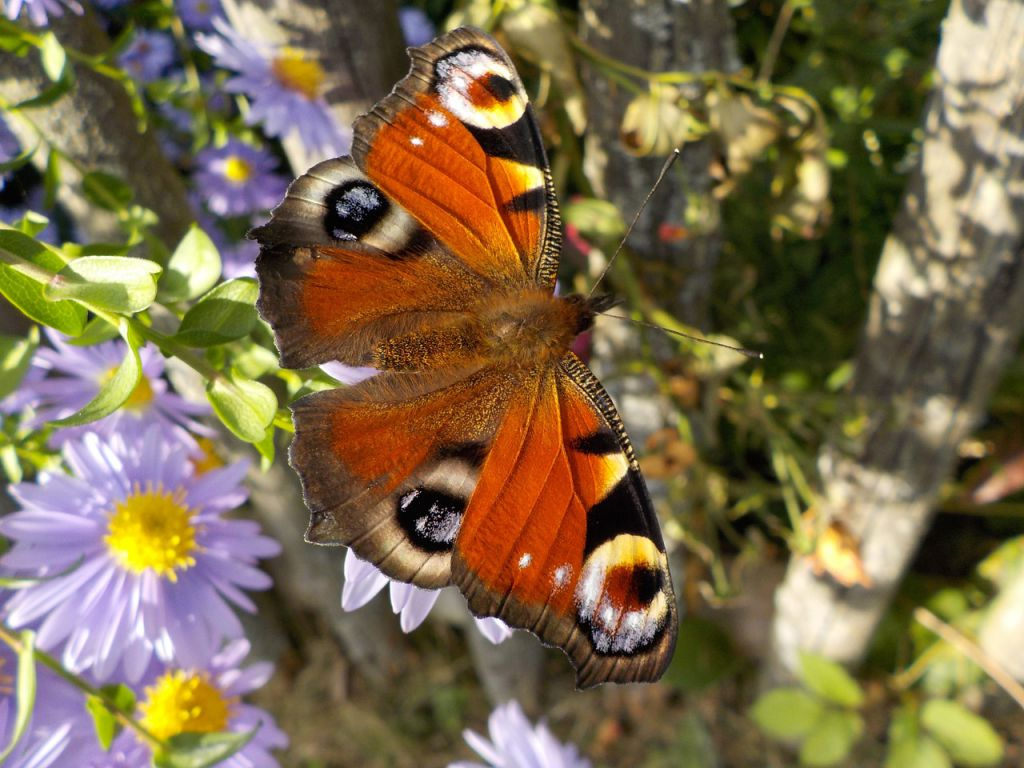 peacock-butterfly-484423_1280