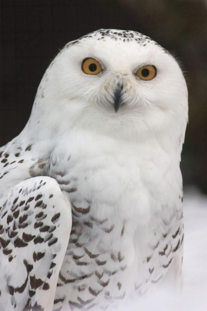 snowy-owl-731203_1280