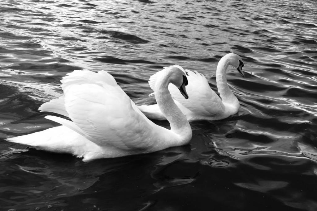 swans-329750_1280
