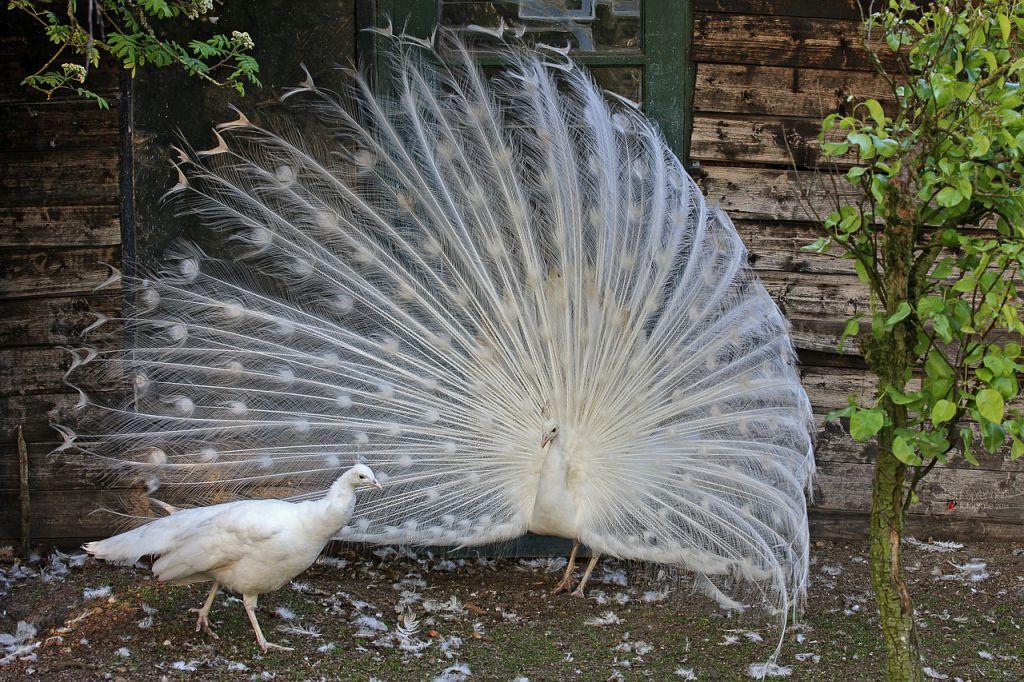 white-peacock-327136_1280