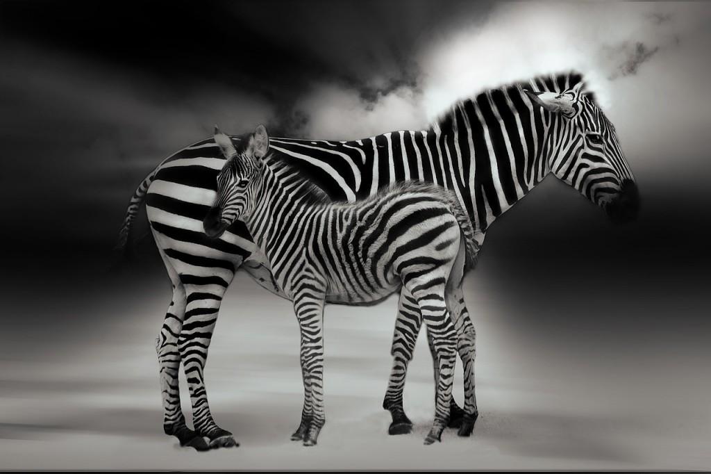 zebra-847542_1280