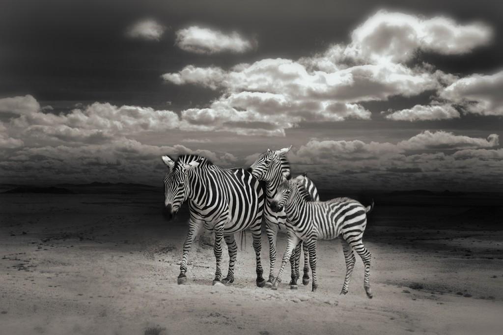 zebras-792596_1280