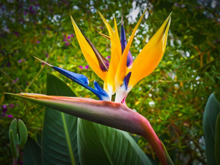 bird-of-paradise-flower-1359718_1920