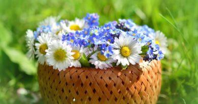 Sedmikrásky - jedlé květy na talíři