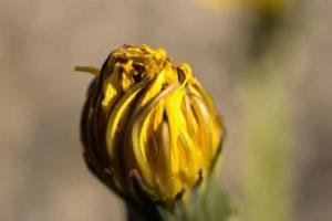 dandelion-111010_1280