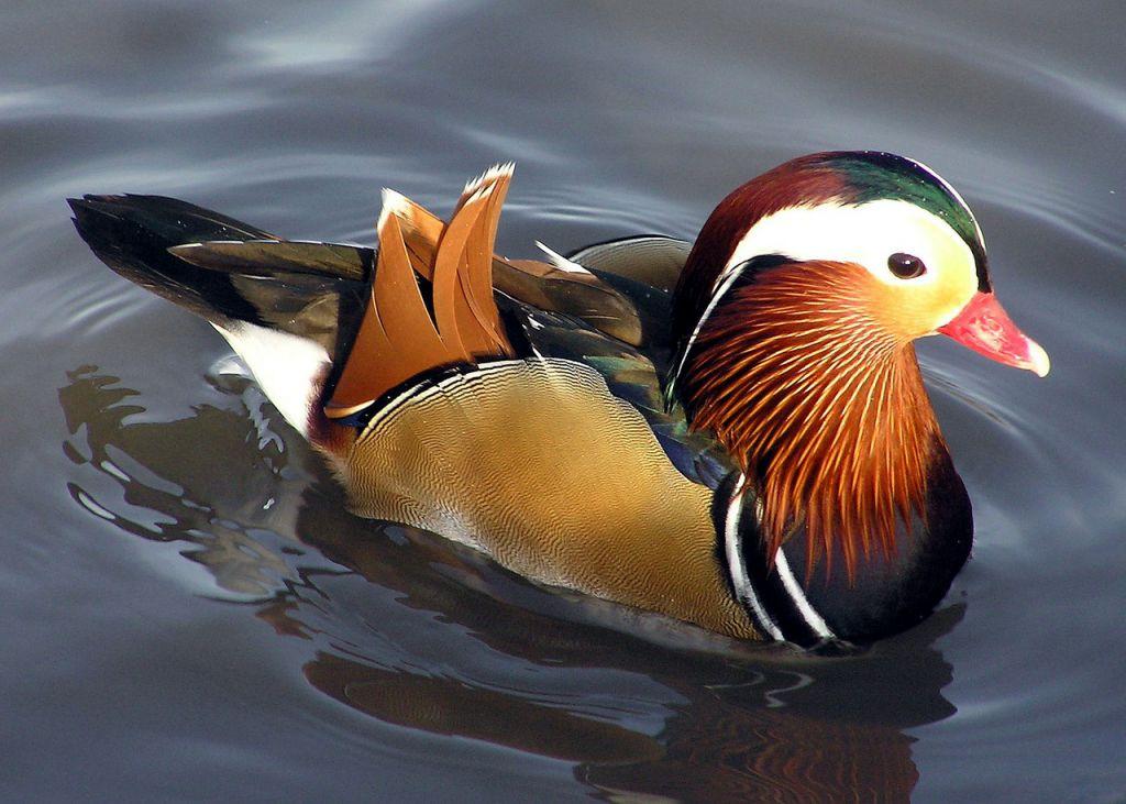 duck-67473_1280