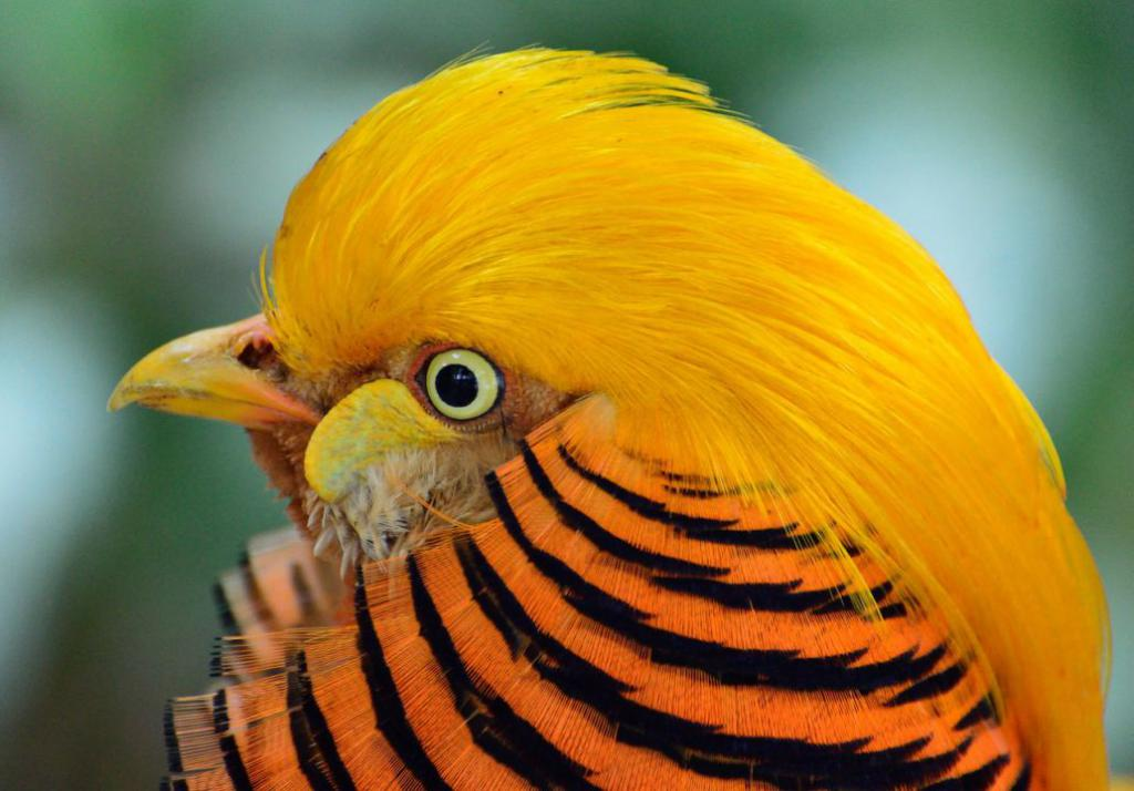 golden-pheasant-317503_1280