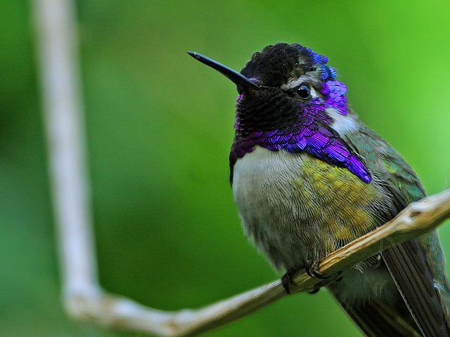 hummingbird-71771_640