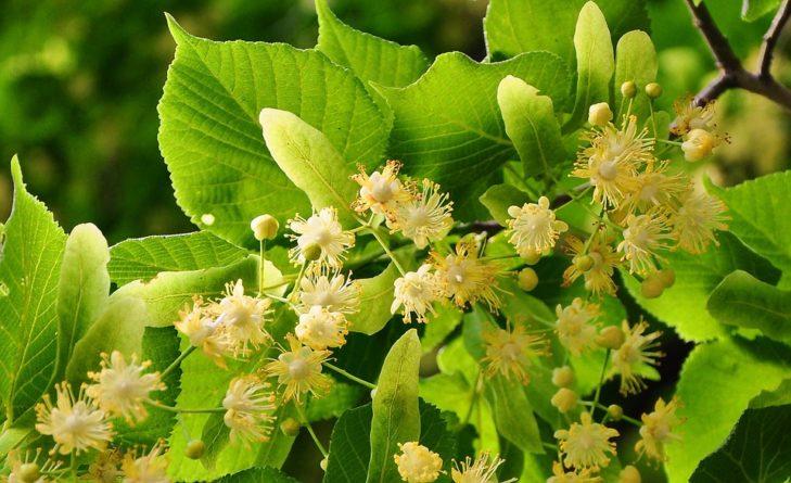 Lipový květ s medem, léčivý lipový čaj
