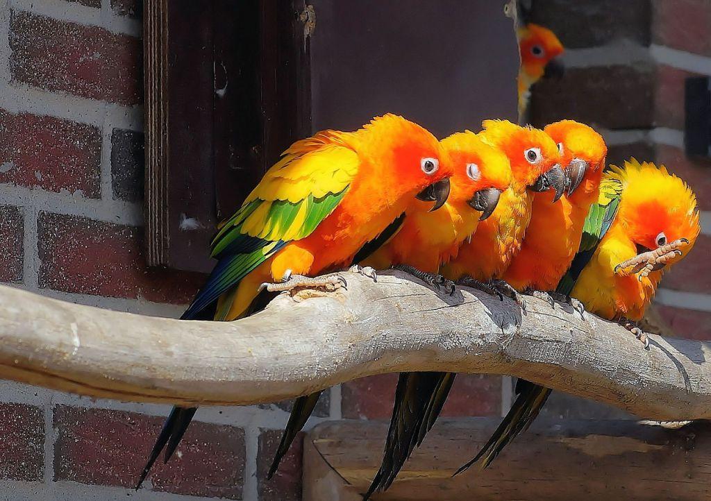 parrots-712291_1280
