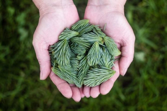 Sirup z výhonků borovice