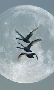 swans-57839_640