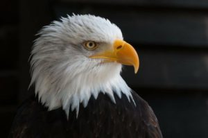 bald-eagles-341898_1280