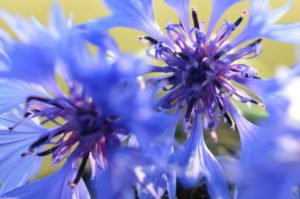 cornflowers-50855_1280