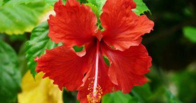 Ibišek - jedlé květy - čínská růže