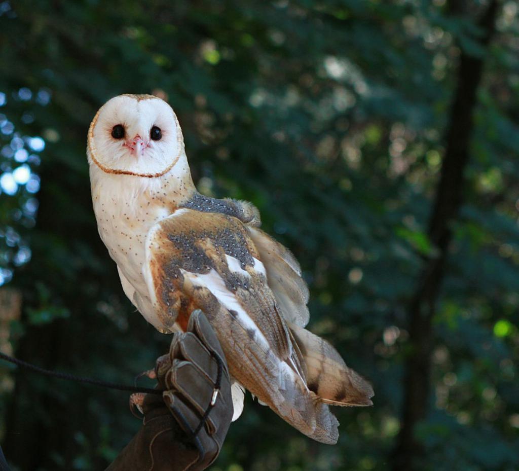 barn-owl-985614_1920