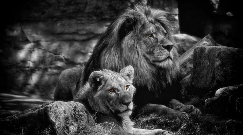 lion-823046_1280