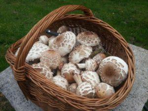 mushroom-basket-244981_1920