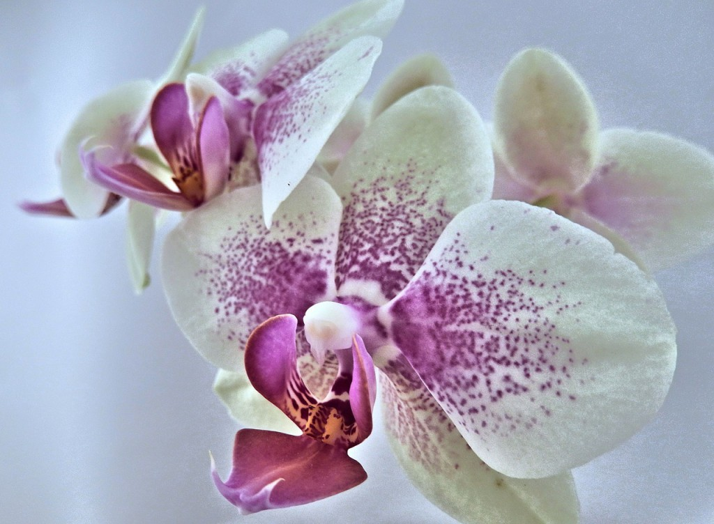orchid-620683_1280