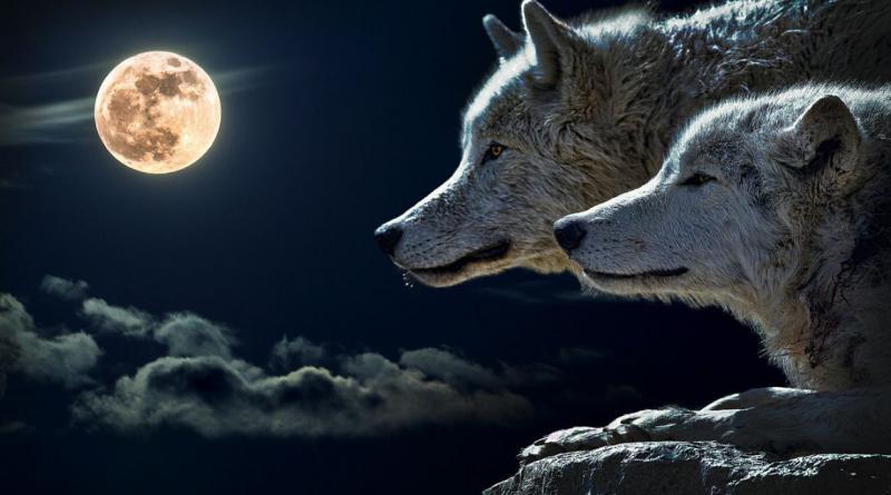 wolf-547203_1280