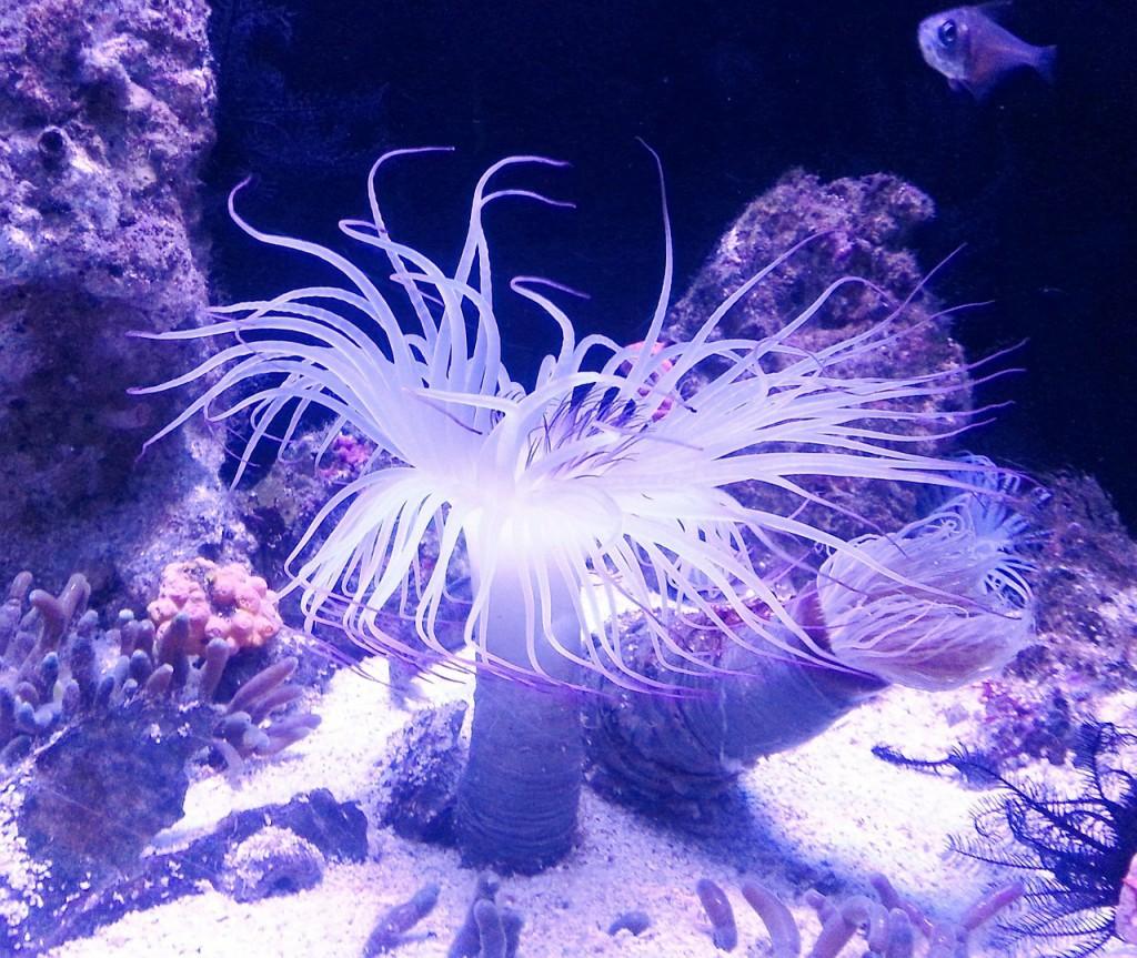 anemone-267115_1280