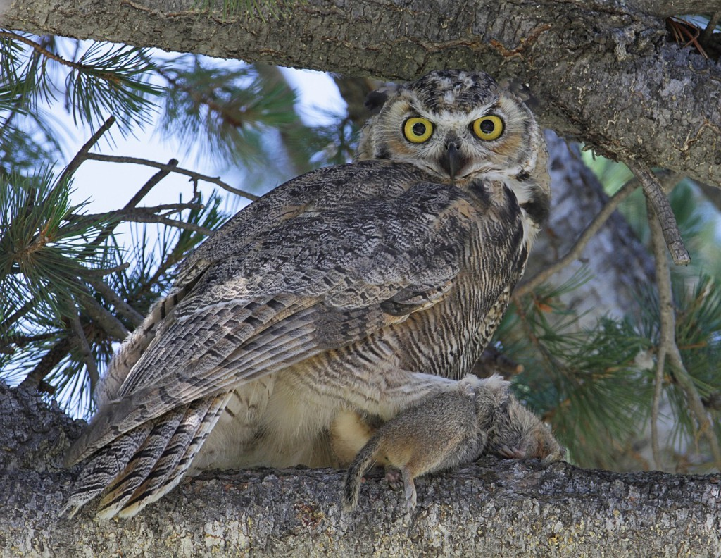 great-horned-owl-869174_1280