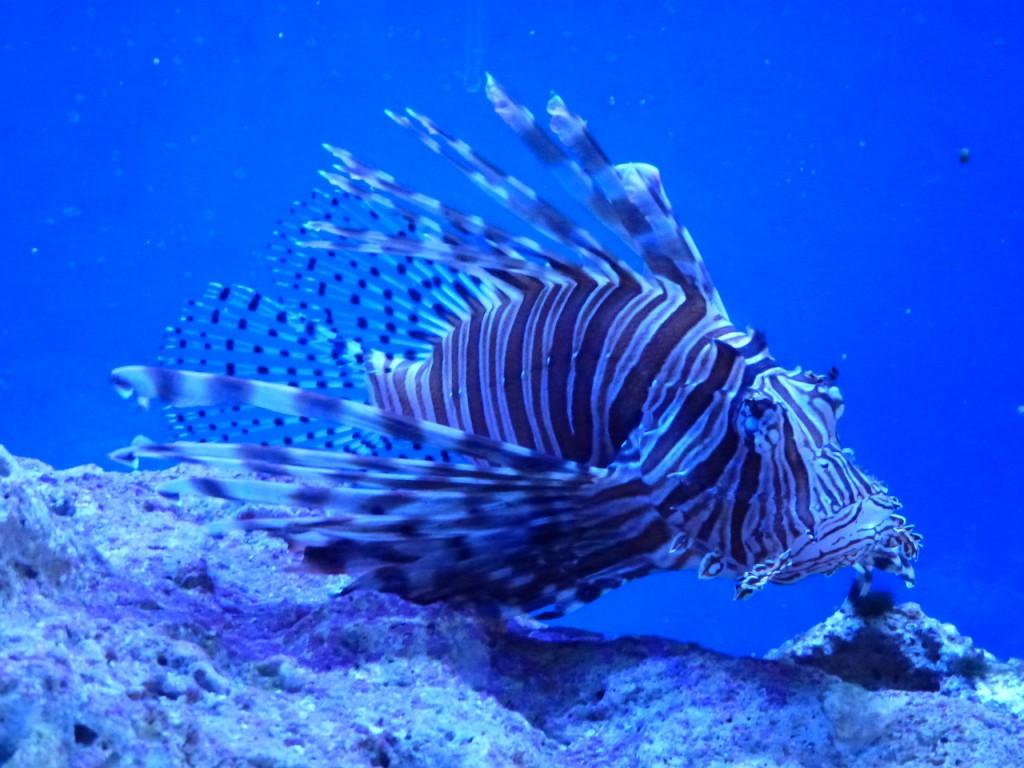 lionfish-317305_1280